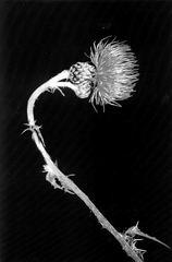 """"""" onopordum acanthium/ centauera cyanus """""""
